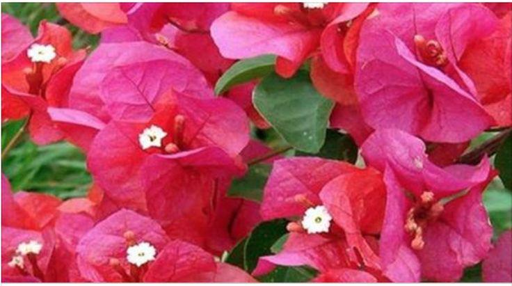 A flor que pode curar várias doenças - mas você, por não saber disso, só a usa como decoração! | Cura pela Natureza