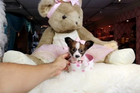 Teacup Papillon puppies for sale! We finance 90% get approved! We ship, very safe. Visit our website teacuppuppiesstore.com or call 954-353-7864