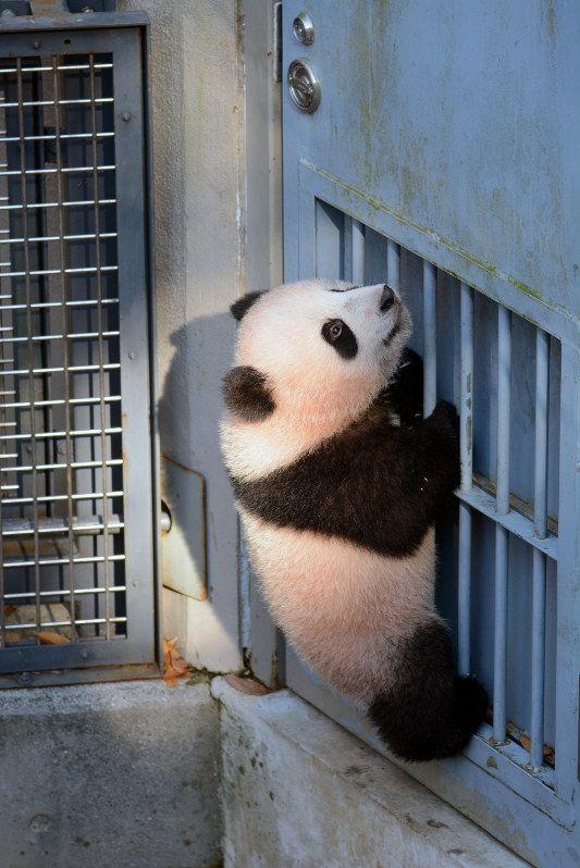 扉につかまるジャイアントパンダの子ども「シャンシャン」=東京都台東区の上野動物園で2017年12月9日午後1時3分、東京動物園協会提供