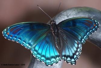 Butterflies and Moths of North America 'Astyanax' Red