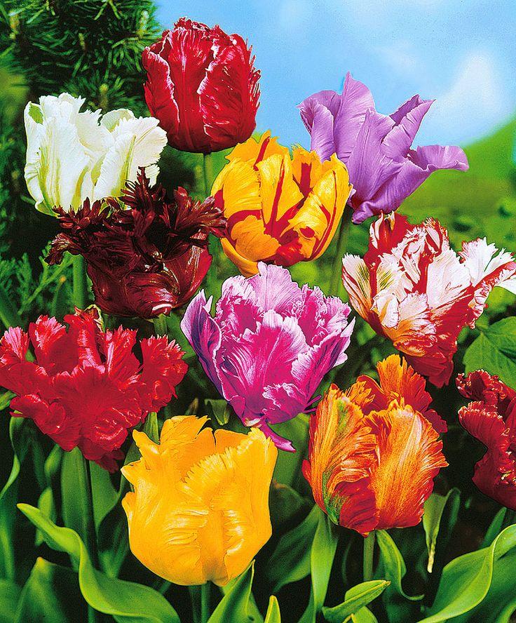 Tulipani pappagallo in mix | Bulbi da fiore | Bakker
