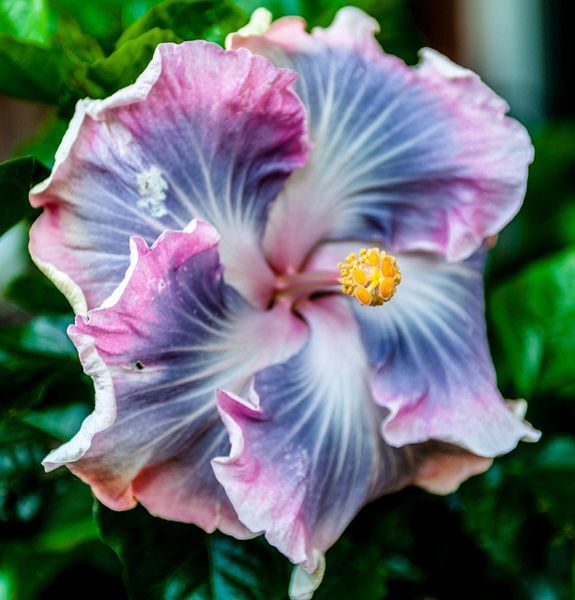 "HIbiscus ""Tahitian Princess"" -- 7 seeds"