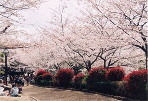 Asukayama 飛鳥山公園■