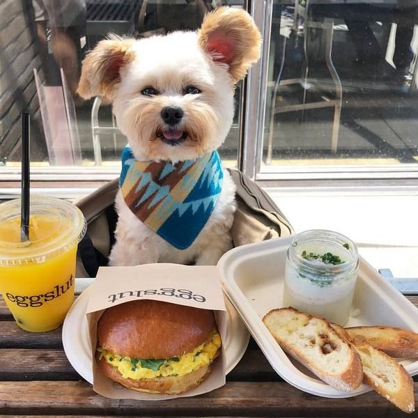 Rescue Foodie Dog Goes Viral Dog Friendly Restaurants Of La Pug Life Harness Dog Friends Dog Restaurant Dogs