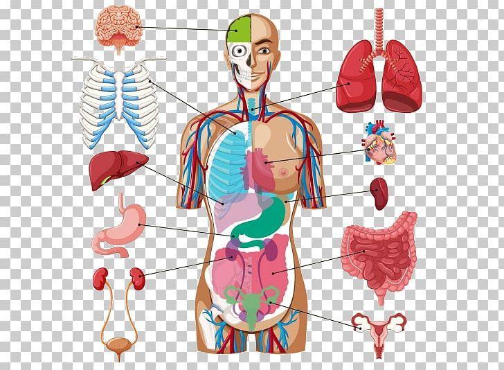 Human Body Organ Diagram Anatomy Png Anatomy Chart Diagram Human Human Anatomy Body Organs Diagram Human Body Organs Body Organs