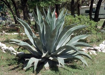 Large Century Plant | Temple College - Landscape Featured Plant