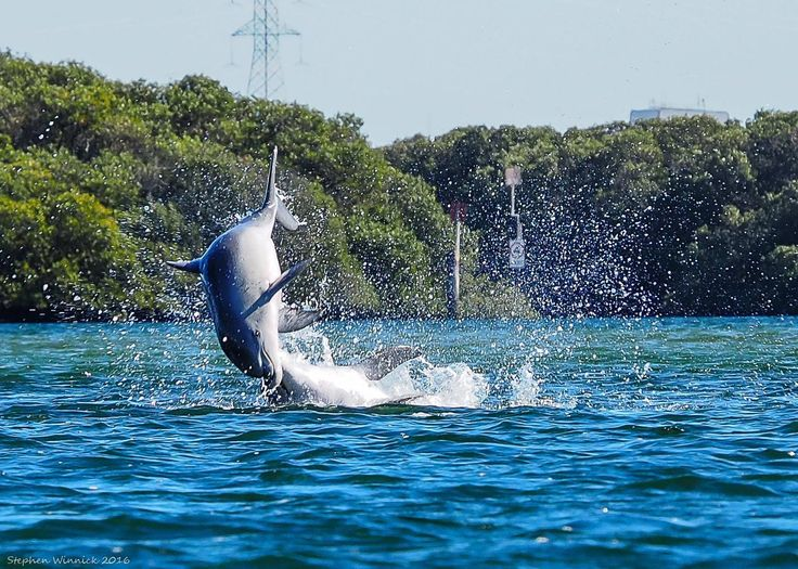 The Port River Dolphins at in the Port river Adelaide South Australia.