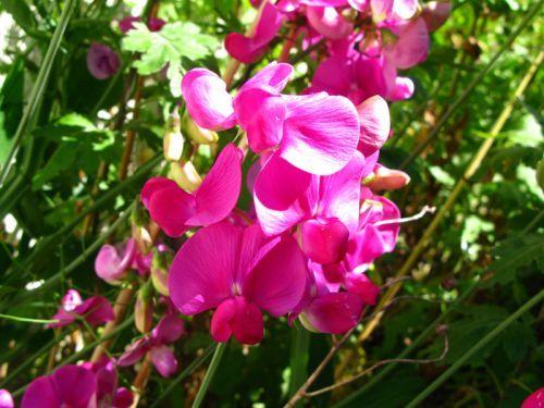 1000 id es sur le th me plante grimpante ombre sur pinterest plantes grimpa - Plantes grimpantes croissance rapide ...