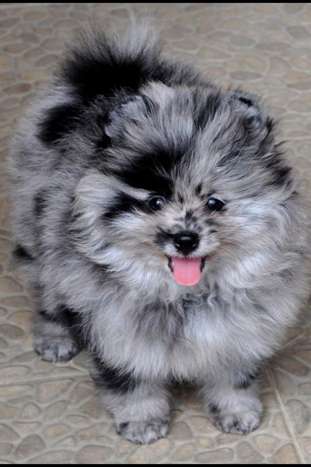 Blue Merle Pomeranian love this coloring
