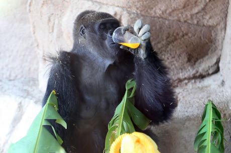 How is Lady the gorilla not famous? I mean a gorilla named Lady!