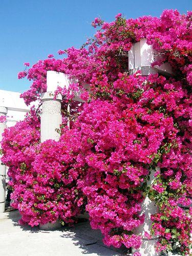 Pink bougainvillea- I love hot pink Bougainvillea!
