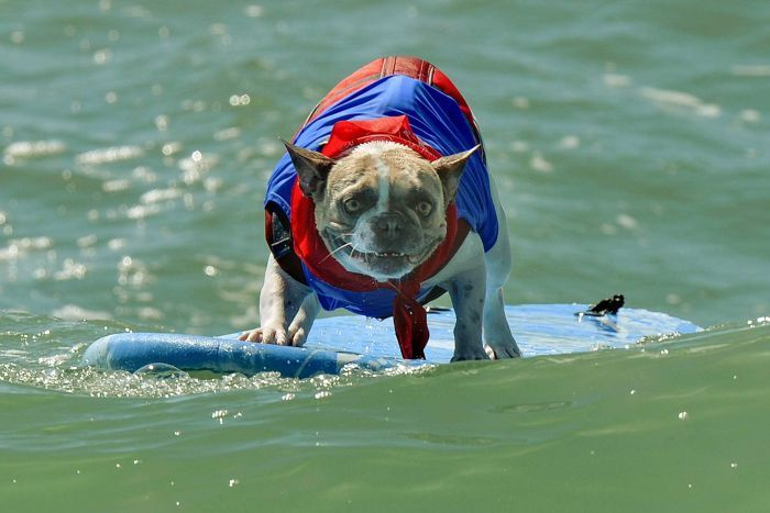 Surf Dog competition in California