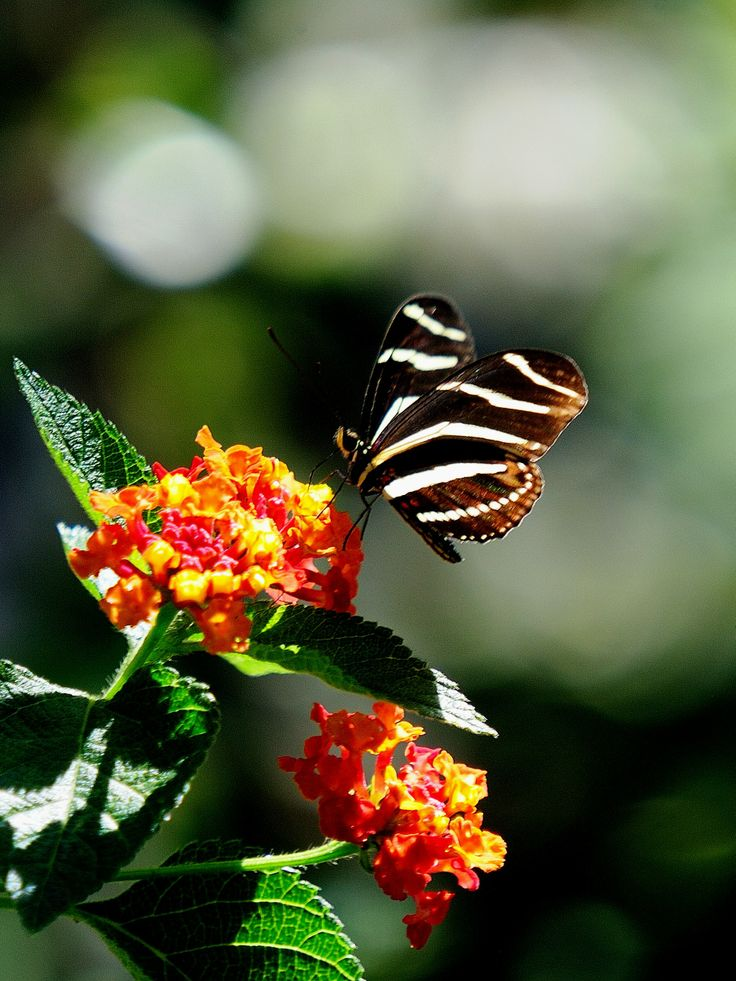 70 Best Butterflies At Coastal Georgia Botanical Gardens Images On Pinterest Botanical Gardens