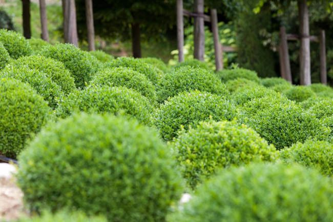 Buxus Sempervirens Suffruticosa, Dwarf Boxwood, Evergreen Shrub, Small Shrub,