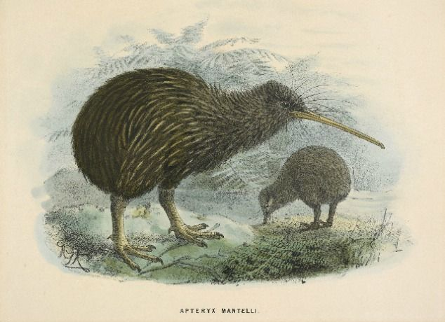 Kiwi Print from Buller's Birds of NZ