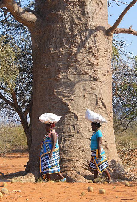 Venda women harvesting baobab pods, Limpopo province (South Africa)