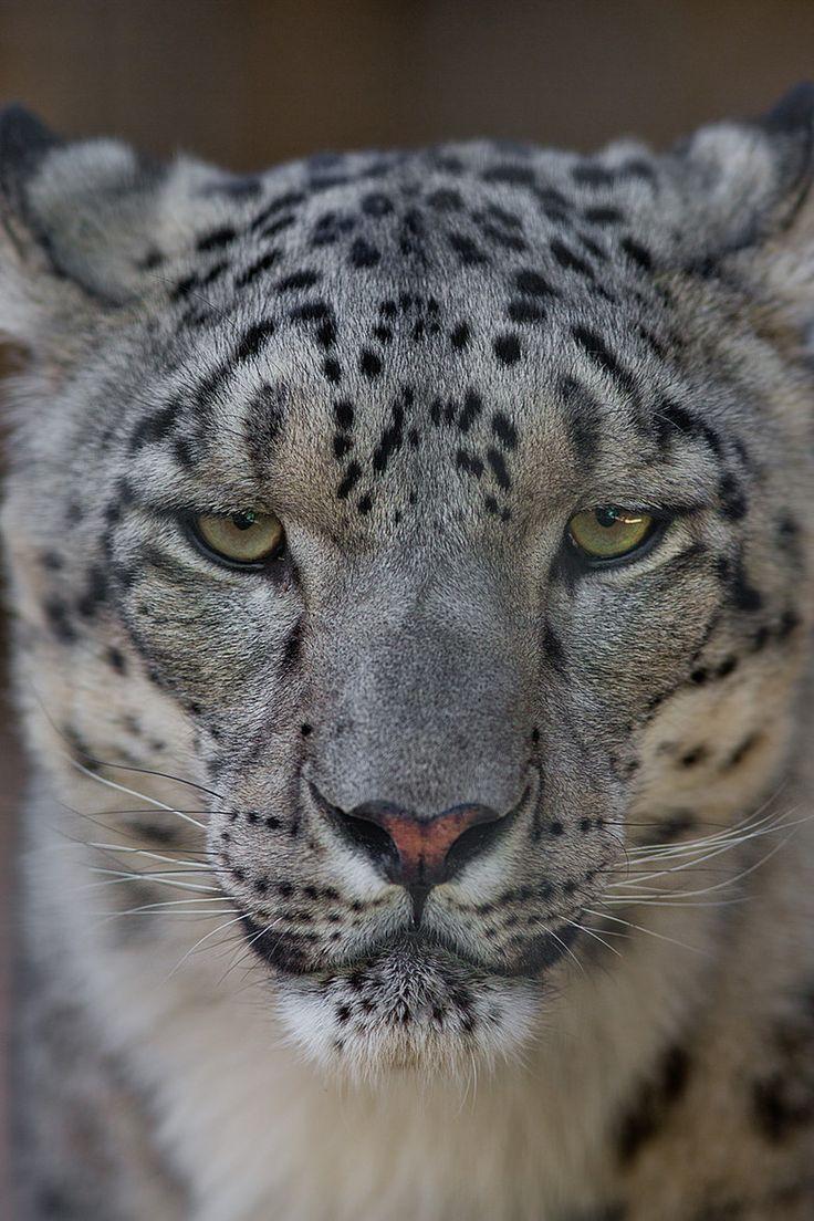 Snow leopard face side - photo#32