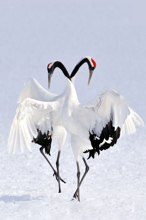 Superb Nature, imalikshake: Winter Dance byMarsel van Oosten