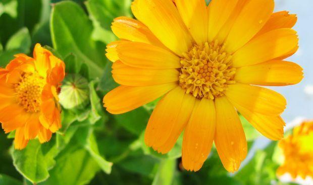 Varice – 4 Tratamente Naturiste Recomandate de Maria Treben