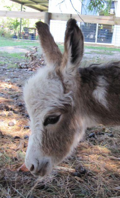 Mini donkey....soooo cute!