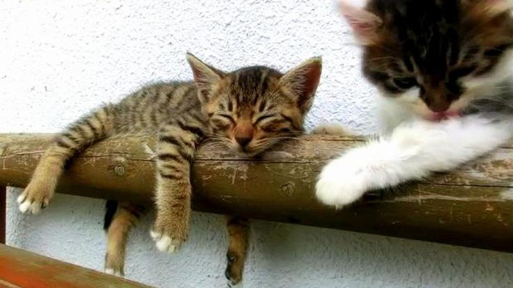 Malé, nemotorné a rozkošné mačiatka sú vždy dobrým objektom na pozorovanie. No keď jedno z nich spí ako zabité a druhý súrodenec sa chce stále len hrať, treba naštartovať kameru a majiteľ týchto mačeniec spravil dobre. Video následne zverejnil na YouTube a to sa okamžite stalo senzáciou. Má už takmer jeden a pol milióna pozretí!