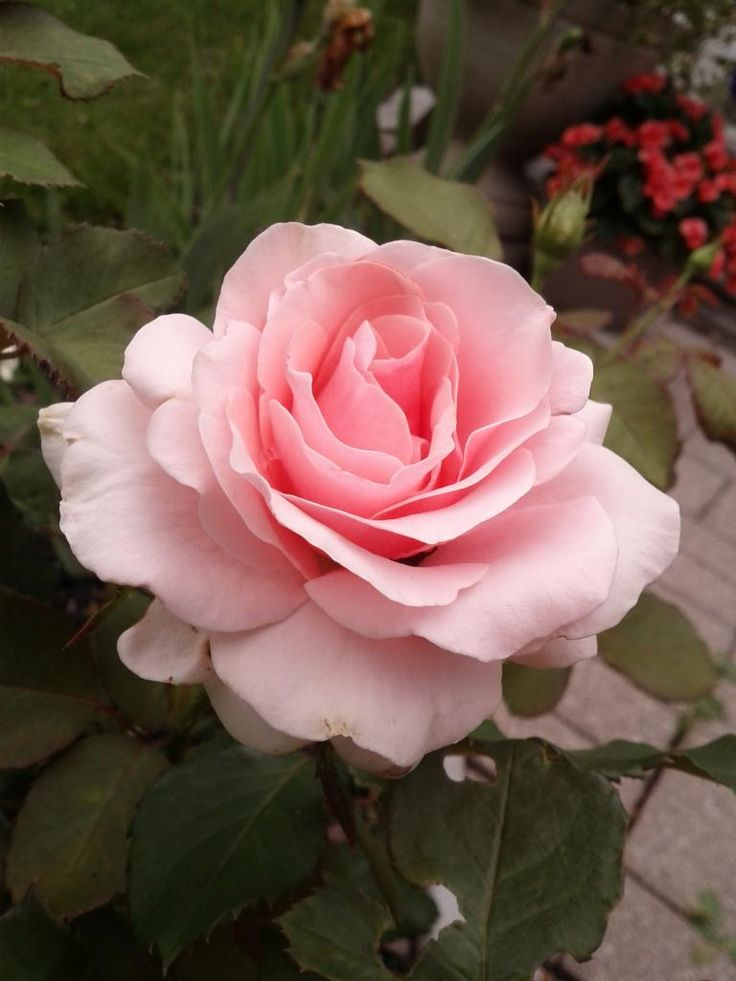 Roses In Garden: 17 Best Images About Roses, Gardenias, Magnolias On