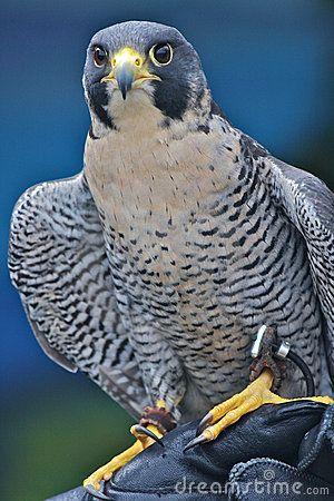 Peregrine Falcon I like the idea of using blue colors