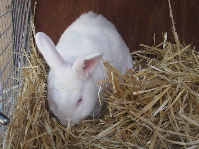 Raising Meat Rabbits: Small-Scale Livestock Farming