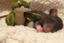 Rat as pet