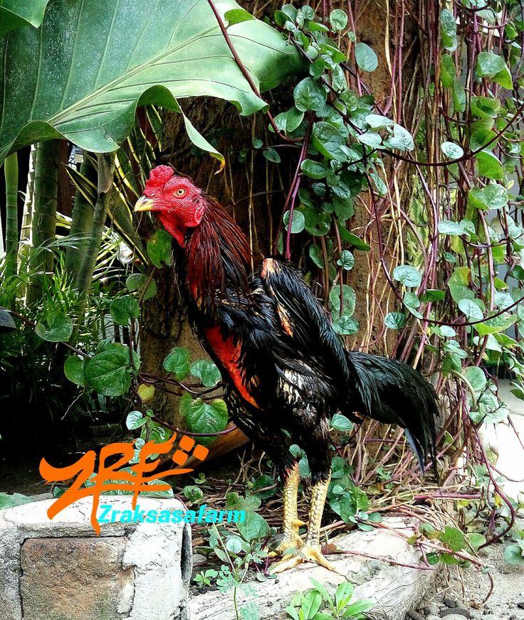 Ayam samo rooster