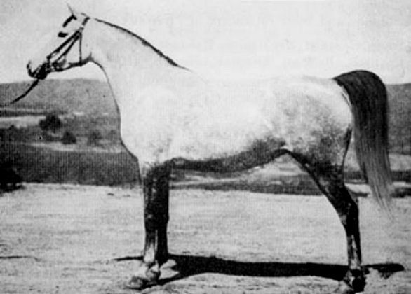 Rossana598.jpg 586×420 pixels Foaled 1921 GSB #744 AHSB #228 AHR #598 Gray Mare Bred by Crabbet Arabian Stud Imported by WK Kellogg in 1926