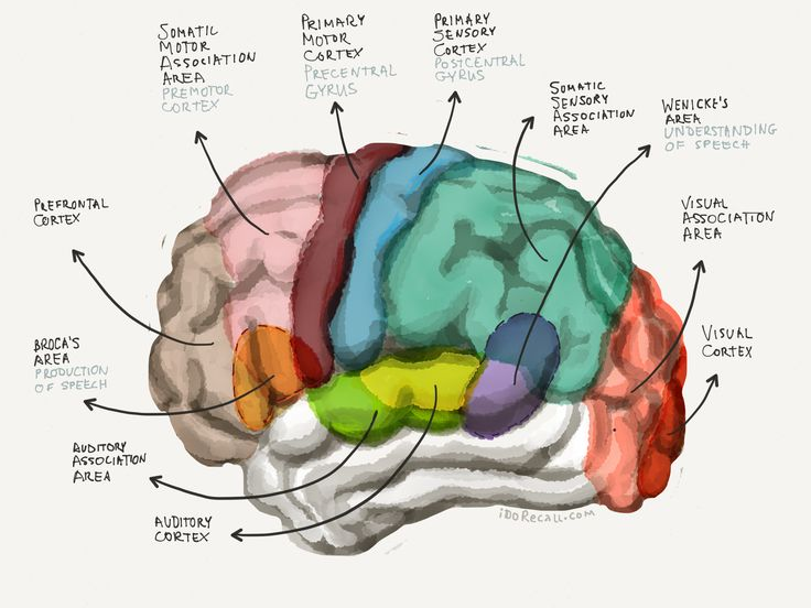 The 25+ best Function of cerebral cortex ideas on Pinterest