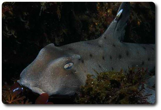 Horn Shark. The horn shark is a small, common, bottom-dweller in the warm waters off western North America. It belongs to the bullhead shark family (Heterodontidae). Its name comes from its short, blunt head with high ridges above the eyes. It has large spines on its two high dorsal fins, and many small dark spots on brownish gray skin. Most adults measure about 1 m, and the maximum length of this species is 1.2 m (3.3 ft).