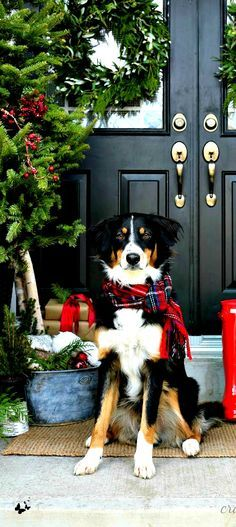 Christmas time pooch... Burnese Mountain Dog | photo and training resources via @KaufmannsPuppy