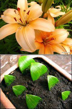 Размножим лилии по-быстрому | РОЗЫ