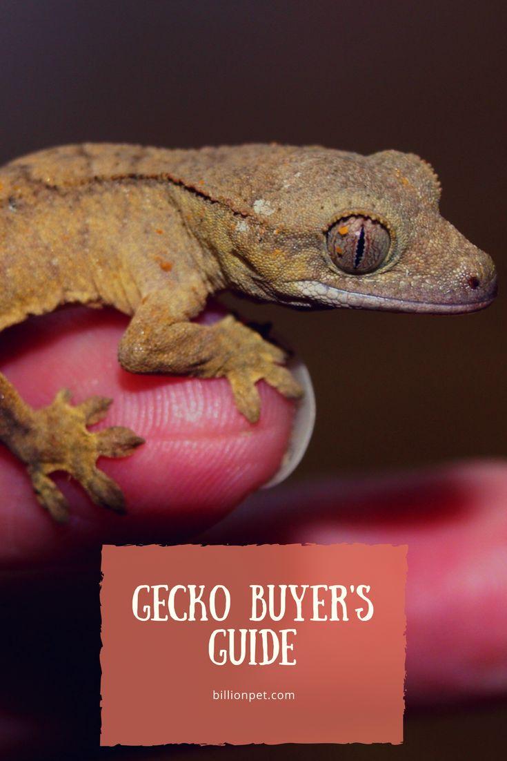 crested gecko #geckos