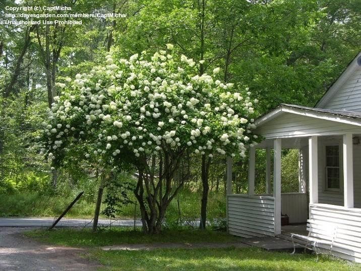 Picture of Panicle Hydrangea 'Grandiflora' (Hydrangea paniculata)