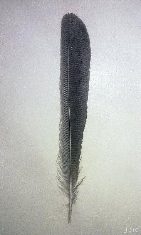 Striated feather; ,,prążki głodowe,, Marsh tit (Poecile palustris)