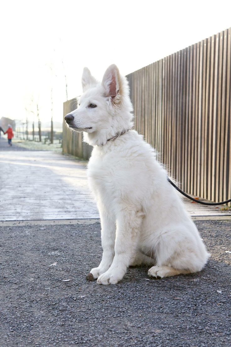 White shepherd - Edin