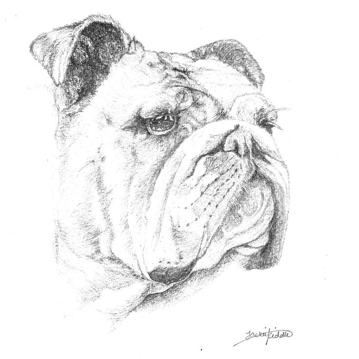Maggie the English Bulldog, drawing #1