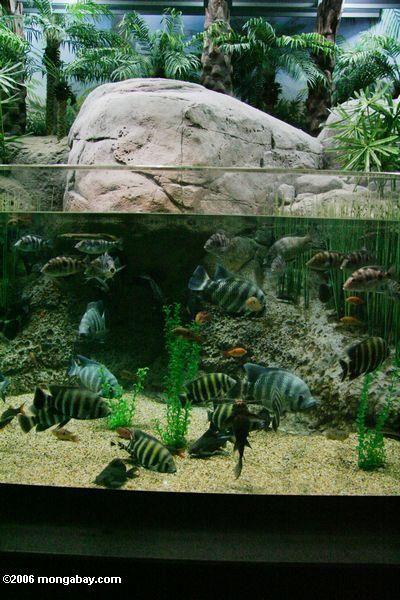 78 best images about paludariums on pinterest zoos for Tilapia aquarium