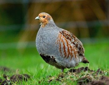 Grey partridges still in decline according to new report - Shooting UK