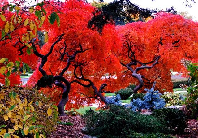 ornamental japanese maples in Jackson Park-Windsor, Ont by BluesyBelle, via Flickr