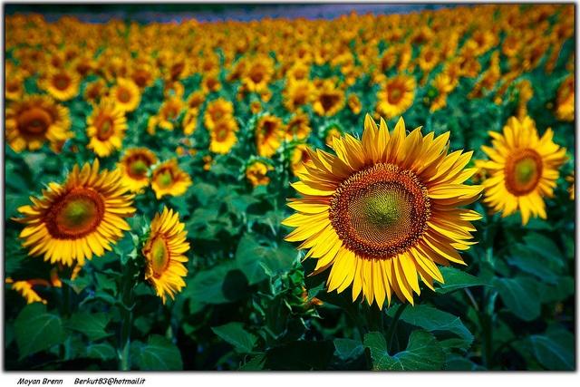 45 best Helianthus (Sunflower) images on Pinterest ...