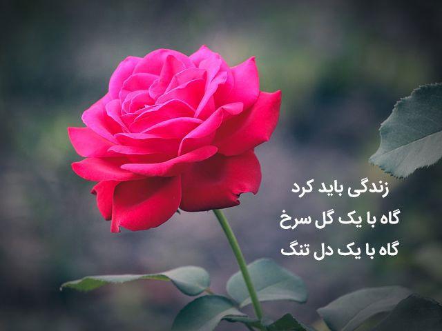 شعر گل Rose Flower Arrangements Ladybug Art Persian Calligraphy Art