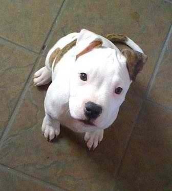 Pitbull Puppy                                                                                                                                                                                 More