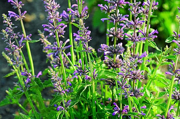 Front yard might be nice agastache low maintenance for Low maintenance garden plants and flowers