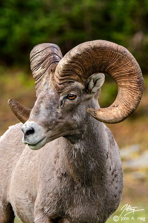 Bighorn ram  We had these in Palm Springs!  All over the little rocky mountains and into Rancho Mirage!