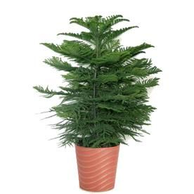 norfolk island pine tree makes a handsome house plant find out how to grow norfolk island pines indoors norfolk pine tree care tips