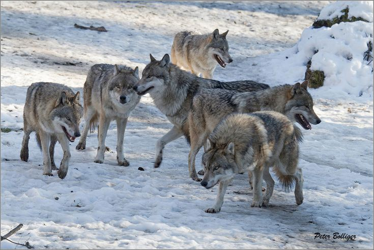 Wolf pack | Gray wolves - Wildpark Bruderhaus Winterthur, Switzerland